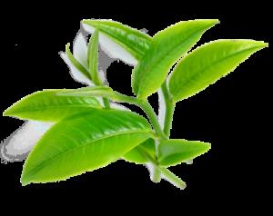 TeaTree-oil